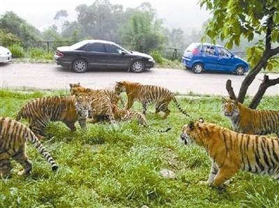 中国动物园协会:零距离自驾游野生动物园应淘汰