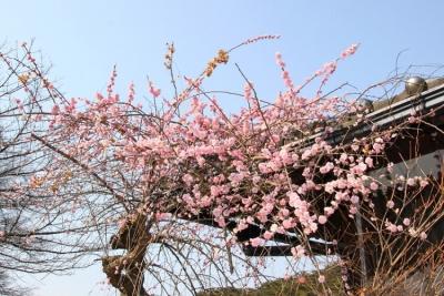 黄梅打造全国最大的梅树主题旅游景区