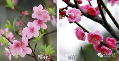 桃花、樱花、海棠、梨花傻傻分不清,春花那么多你都会赏吗?