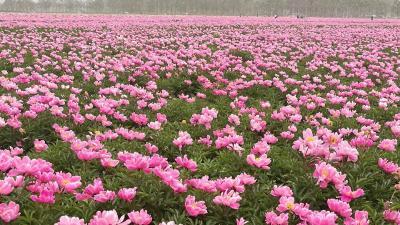 我台《旅游黄冈》栏目走进安徽亳州芍花养生文化旅游节
