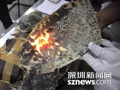 生态悲剧!246只珍稀玳瑁遭杀害 背甲片从肉体剥离