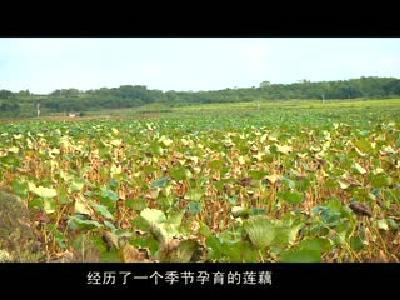 舌尖上的黄冈——巴河藕