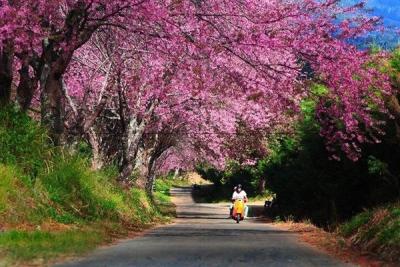 春天还没来 这个地方却已迎来樱花全盛!