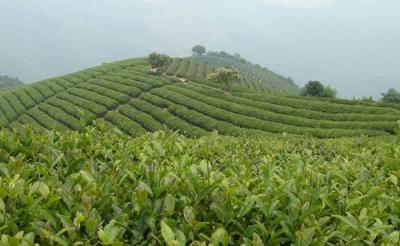 武穴:扶持群众发展油茶产业 今年计划种植0.5万亩