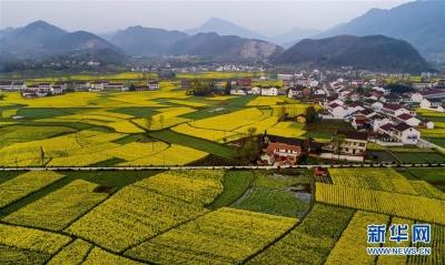 陕西汉中万顷油菜花盛开 大地铺金色花海