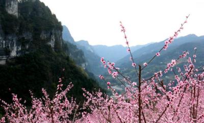 大山深处桃花开 引得八方游人来