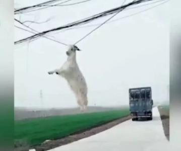 我是谁?我在哪?货车一个急转弯,羊在风中凌乱了……