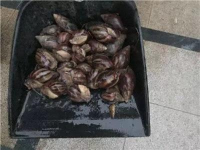 这种雨后遍地爬的大蜗牛会传播结核病!专家提醒:别碰更别吃