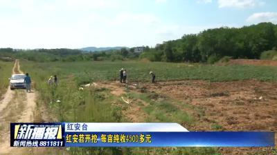 红安苕开挖 每亩纯收4500多元