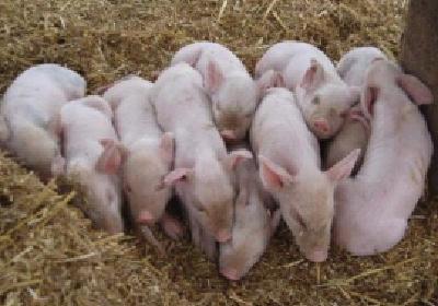 支持养猪,省里最高补助200万元!