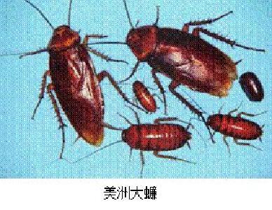 创文创卫 | 蟑螂危害及防治!