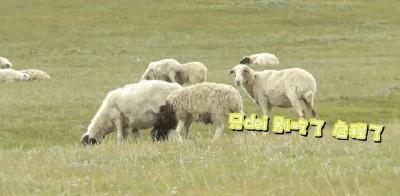 """3万只羊快来了,由""""鄂""""分配!"""