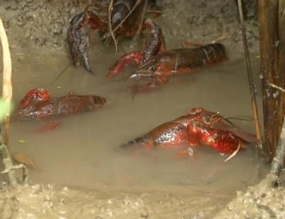 首次养虾三分之一亏本,虾稻田里并非只有欢喜
