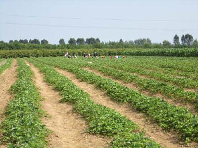 【草莓】草莓补苗时间及注意事项