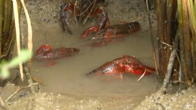 大厨PK网红做小龙虾,67.59万网友沸腾了,都想来潜江吃虾