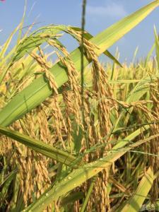 【必看】八月水稻管理技术要点!