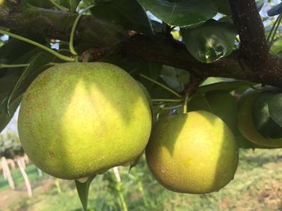 【梨】浅谈梨树套种黄精的简要技术及经济效益