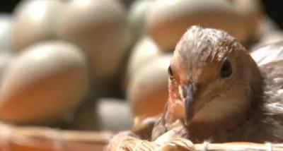 """厉害了!这个创业能人养""""苍蝇"""",只为喂世界上最小的鸡!"""