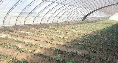 【草莓】草莓定植后如何快速缓苗?定植缓苗技术8要点