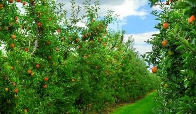 【技术】果园如何提升品质基础?专家肥培管理技术分享