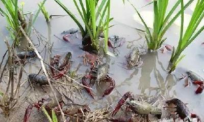 小龙虾被带入中国是哪年?引进原因是什么?第一道菜品叫什么?