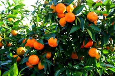 【柑橘】一年柑橘幼树秋季种植养护管理总结
