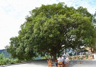 """""""鄂东第一桂""""又开花了 树龄200岁 树冠200平方米"""