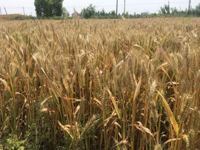 """小麦价格还是难""""抬头"""""""