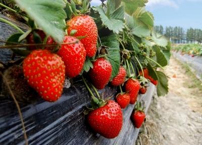 【草莓】如何促进草莓分化?这几个操作种植户要了解!