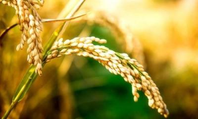 让卖粮农民少等候,湖北今年新增31个粮食收储库点!