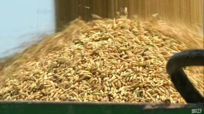 国际三等中晚稻收购库点减少,最低每斤126元,比去年降10元