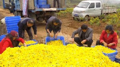通山30余亩菊花喜获丰收 村集体收入约10万元