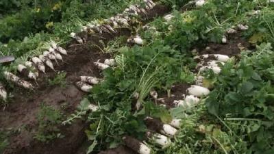 拔萝卜装萝卜品萝卜,每天村里收40吨萝卜,乡亲每年增收5千