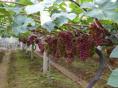 【葡萄】秋冬季施基肥技术!全年施肥中最重要的一次来了