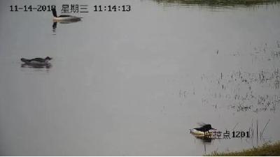 """""""鸟中大熊猫""""又来松滋洈水过冬啦!"""