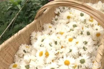 麻城福白菊品质佳!带动产业发展品牌价值达2.5亿