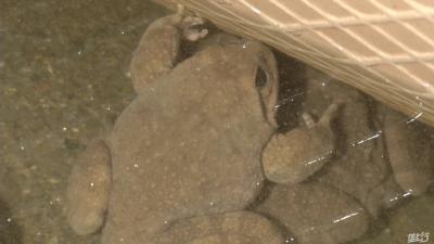 小伙回农村养石蛙,年出售2000斤商品蛙,1年纯赚20多万