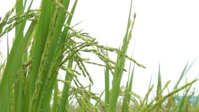 【视频】水稻课堂:水稻种得好龙虾更赚钱!八年虾稻种植老手跟您分享致富经