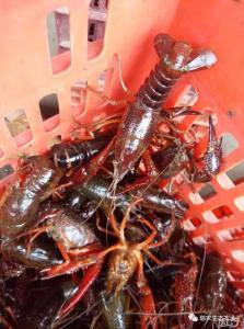 为什么大部分养小龙虾的在冬季不卖龙虾?