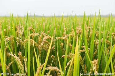枝江:种优质稻,带动农民一起赚大钱