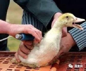 鸭子免疫接种有哪些注意事项?