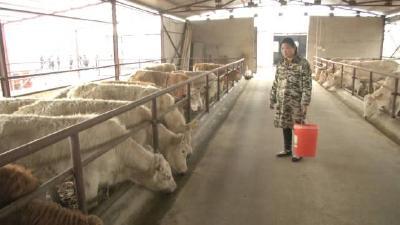 卖掉房子凑出200万,也要回乡养牛,这位大姐到底为了什么?