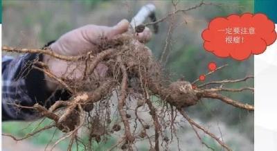 【栽植管理】桃树主干形栽培技术(上)