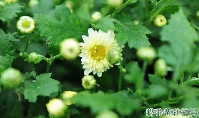 【中药材】药用菊花适宜的生长环境是怎么样?什么样的环境适宜种植菊花?