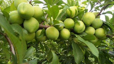 【施肥】果树最佳施肥时间和施肥部位,纯干货!