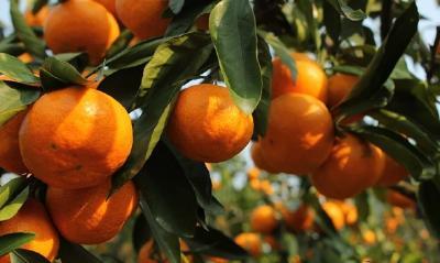 【柑橘】柑橘新品种更新太快?五个方法帮你判断该不该种!
