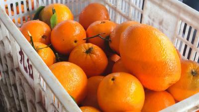 【行情】4月29日湖北橙子产地:均价1.80元/斤,较昨日持平