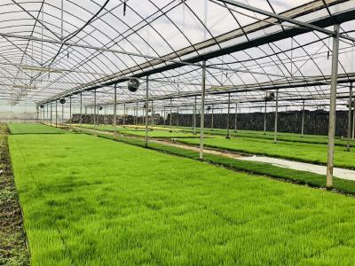 水稻秧苗移栽标准