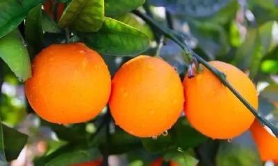 【柑橘】沃柑早结丰产栽培技术要点