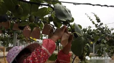 【猕猴桃】猕猴桃标准化生产,夏季管理六大关键技术要点